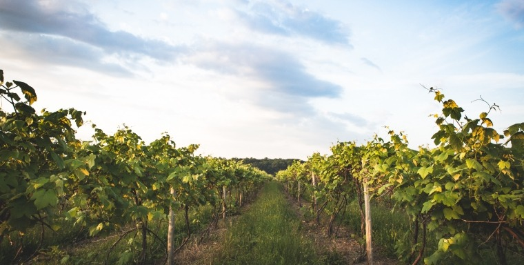 Early morning sunrise in a vinyard - Home